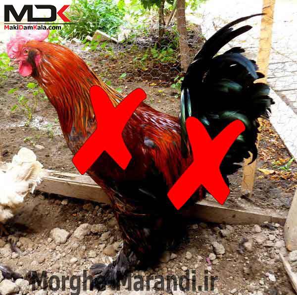 مرغ و خروس مرندی دو رگه