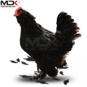 فروش مرغ مرندی بهترین مرغ تخمگذار ایران