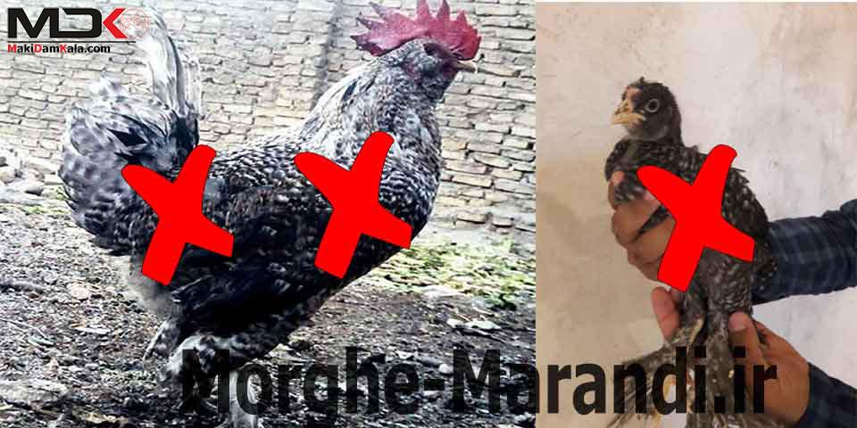 فروش مرغ مرندی چیل دورگه
