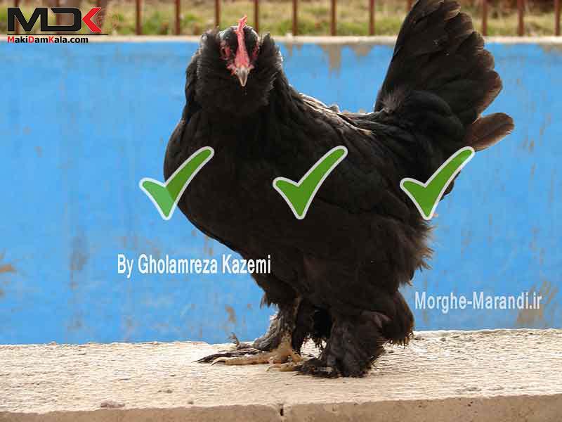 مرغ مرندی اصلاح شده با کیفیت