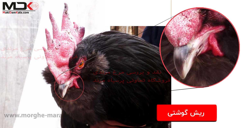 نقد و بررسی مرغ مرندی ریش گوشتی خروس مرندی