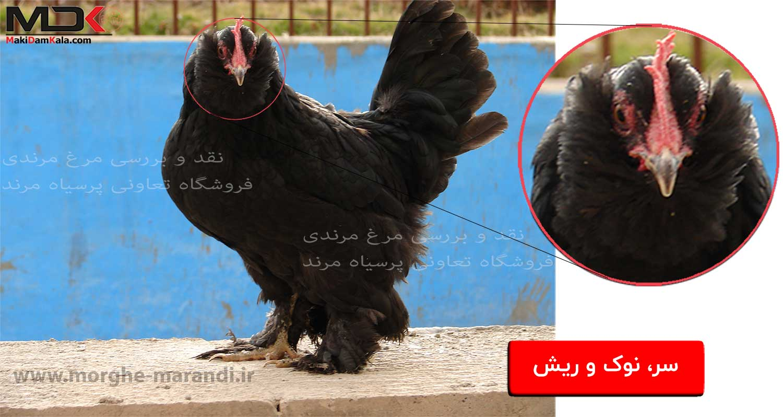 نقد و بررسی مرغ مرندی سر نوک ریش