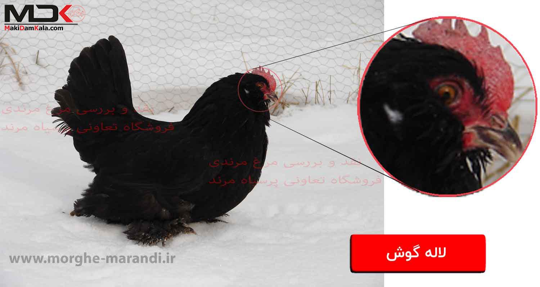 نقد و بررسی مرغ مرندی لاله گوش