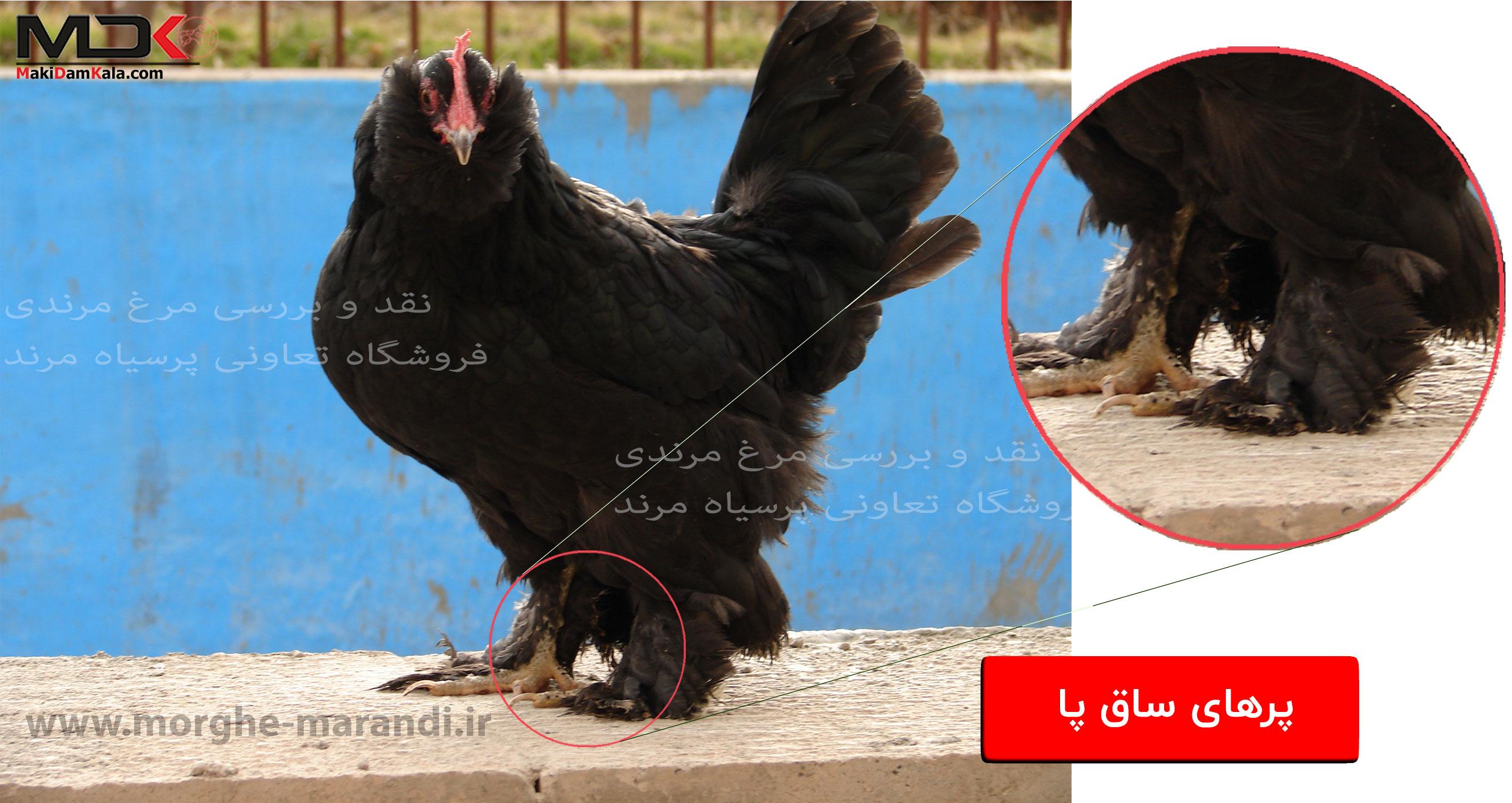 نقد و بررسی مرغ مرندی پرهای ساق پا
