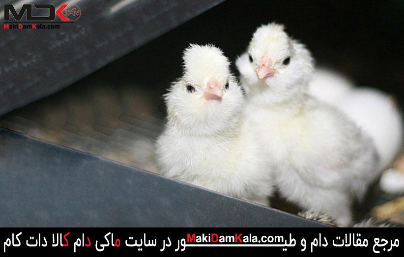 جوجه های مرغ و خروس سلطان