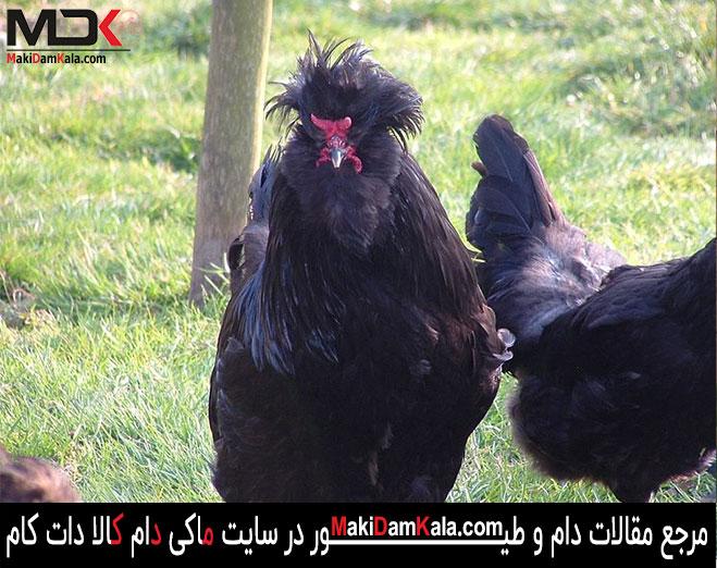 خروس های سلطان سیاه