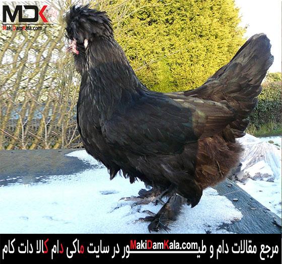 مرغ و خروس سلطان در رنگ سیاه