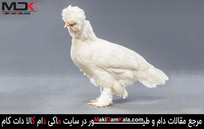 نژاد مرغ و خروس سلطان