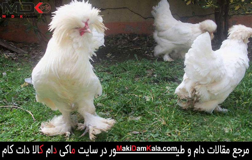 مرغ و خروس سلطان