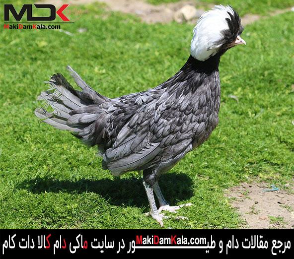 مرغ لهستانی طوسی کاکل سفید