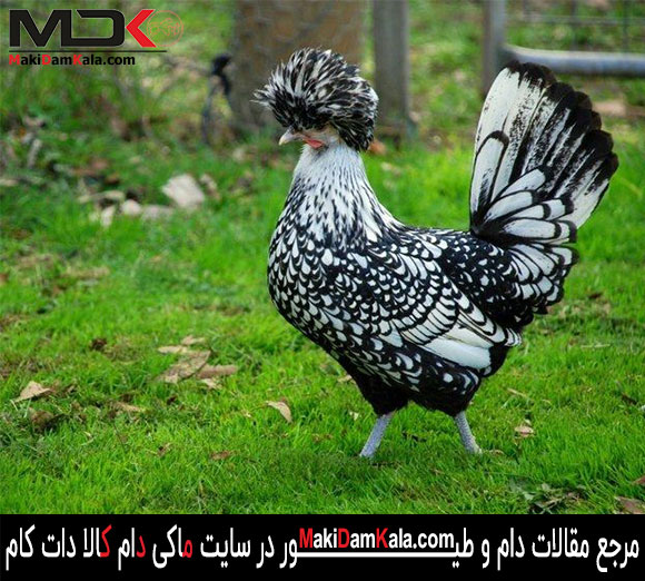 مرغ لهستانی کاکل نقره ای
