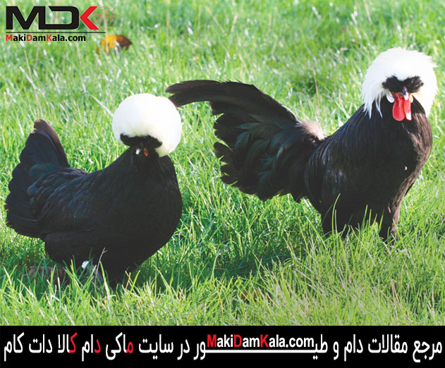 مرغ و خروس لهستانی کاکل سفید