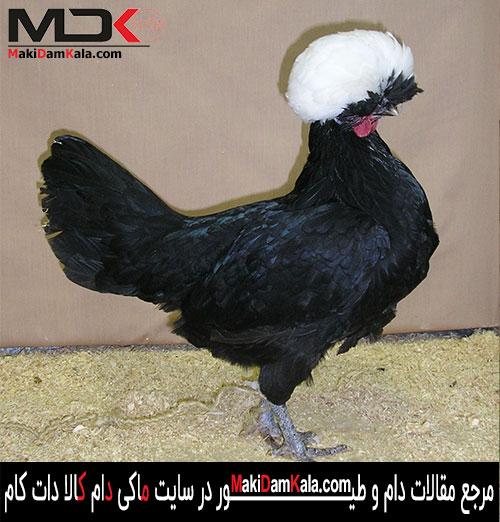یک مرغ لهستانی زیبا و با ابهت